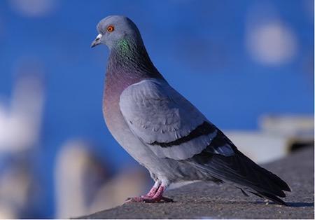 Bio mimétisme et Management: tous des pigeons ?